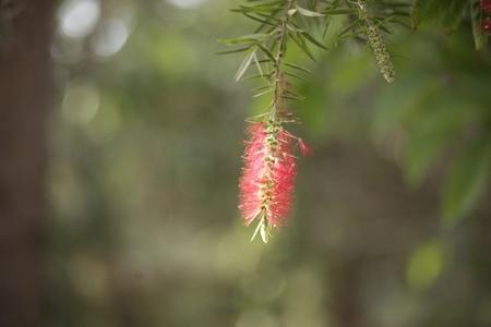 pubescent: hairy rediish flower