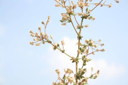 fountainhead: plant with dried buds