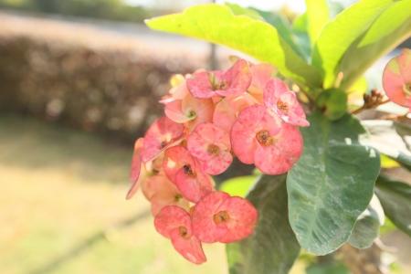 sepals: reddish sepals