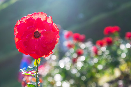Red flower on blurred background