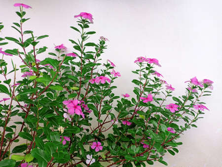 Bush of pink Catharanthus roseus L. G.Don flowers with green leaves with white cement wall.