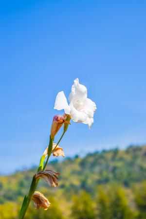 beaming: Beautiful white gladiolus flowers on blue sky