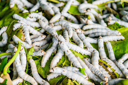 sericulture: Silkworms close up on a mulberry leaf