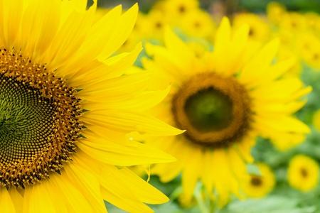 closeup: Beautiful yellow flowers, sunflower in field plantation.