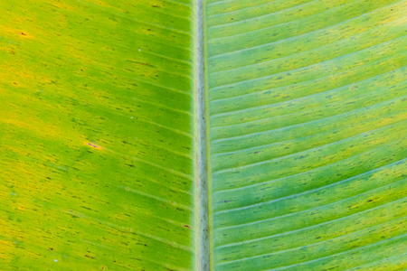 A banana leaf background with lines Stock fotó