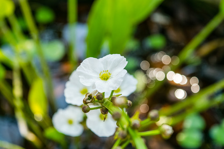 echinodorus: Beautiful small white flower of Creeping Burhead or Echinodorus Cordifolius is a aquatic plant