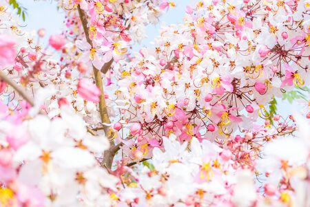 Cassia bakeriana Craib, Beneath pink flowering tree similar sakura in Thailand