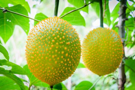 Gac fruit, Baby Jackfruit, Spiny Bitter Gourd, Sweet Grourd or Cochinchin Gourd Stock Photo