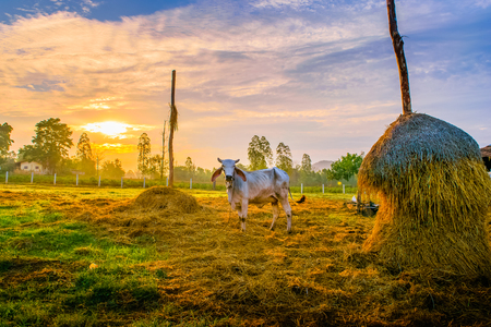Thai cow in the stable on sunset Stock Photo