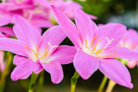 beautiful purple rain lily flower on nature background Stock Photo