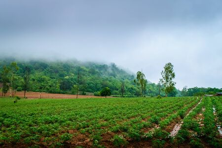 Cassava plantation farming, growing of Cassava and mountains background Banque d'images