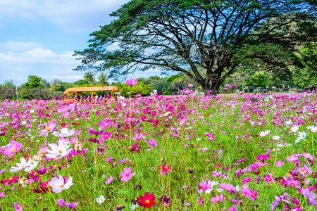 Nakornratchasrima でジムトンプソン農場で美しいコスモスの花