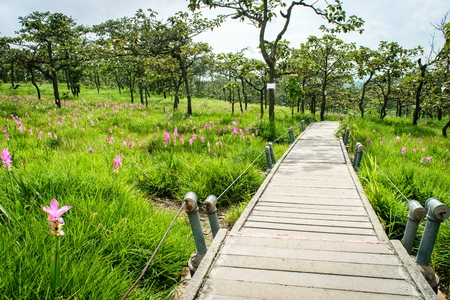 A Walk Way in Siam Tulip Field, Pa Hin Ngam National Park in Chaiyaphum province, Thailand. Stockfoto