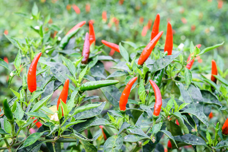 pepper chili field in agricultural garden Stock Photo