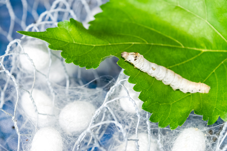 sericulture: silk cocoon with silk worm on green mulberry leaf Stock Photo
