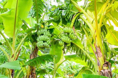 Banana tree with bunch of green growing raw bananas