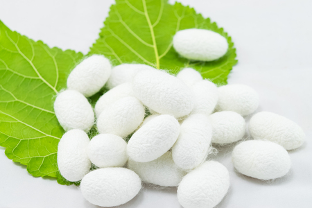 White silk cocoon with mulberry leaf on white background 免版税图像