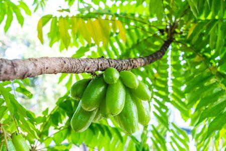 Averrhoa bilimbi fruit on tree