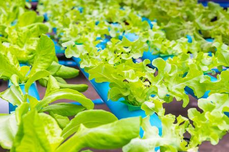 Granja de cultivo hidropónico de hortalizas orgánicas Foto de archivo - 91325895
