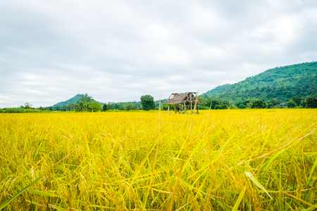 rice yellow gold with small cottage in Thailand