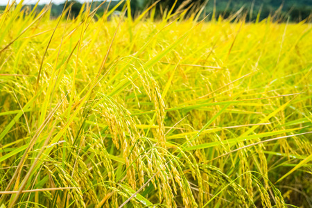 rice yellow gold in farm.Thailand