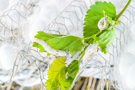 silk cocoon with silk worm on green mulberry leaf Stock Photo
