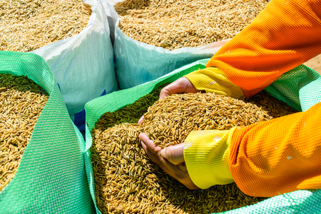Rice seeds In hand on Paddy background,Thailand. Stock Photo