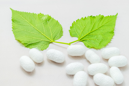 white silk cocoon with mulberry leaf on white background