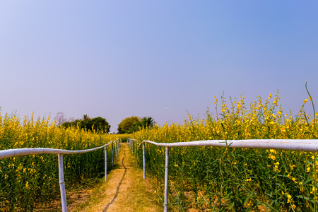 Yellow field of crotalaria juncea flower in Thailand Stock Photo
