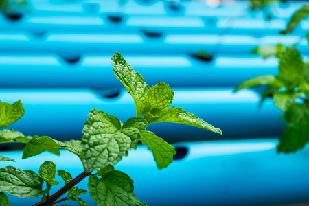 Green Peppermint trees planted by Hydroponic farm Stock Photo