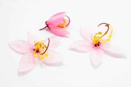 Cassia bakeriana Craib flowers isolated on white background