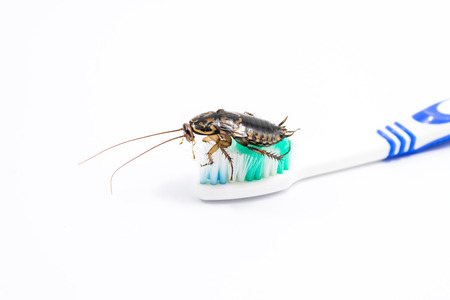 Cockroach on toothbrush isolated on white background.