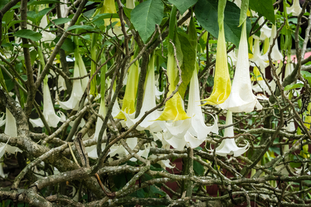 White Angels Trumpet flowers. Flowering Datura tree plant