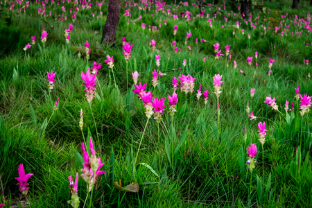 Pink flowers.Siam Tulip.Beautiful field of flower in National Park. Siam-Tulip festival Chaiyaphum Thailand Stock Photo
