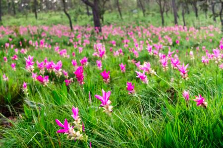 Pink flowers.Siam Tulip.Beautiful field of flower in National Park.