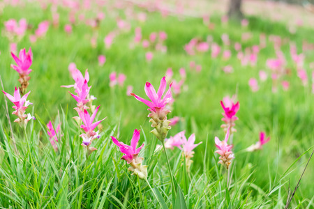 Pink flowers.Siam Tulip.Beautiful field of flower in National Park.