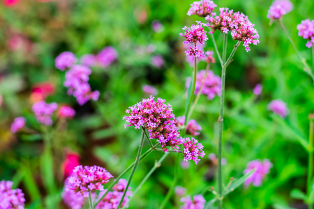 Violet verbena flowers in garden on nature background Stock Photo