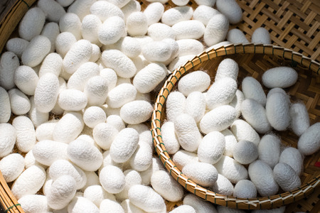 white silk cocoon with bamboo basket in farm Stock Photo