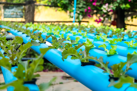 Vegetable hydroponic farm, Agriculture and food concept.