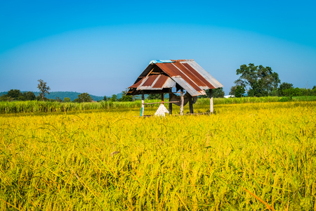rice yellow gold with small cottage in Thailand Archivio Fotografico