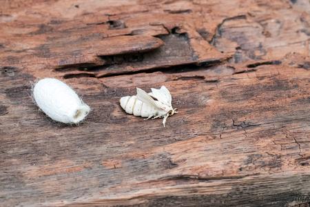 Seidenraupenmotte mit Silk Cocoon auf einem alten Holzhintergrund. Standard-Bild