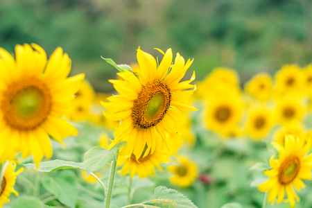 Beaux tournesols dans le fond naturel de champ