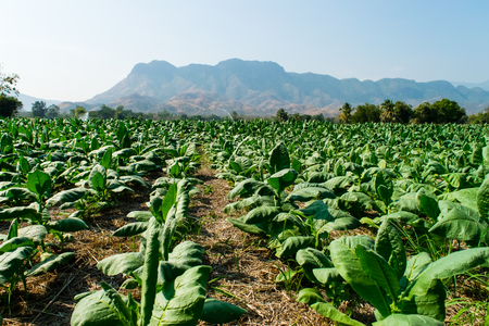 Tobacco plantation with a mountain background in Thailand 스톡 콘텐츠