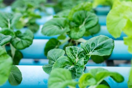 Bok Choy White Vegetables in Hydroponics Farm