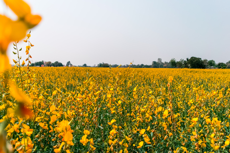 Yellow field of crotalaria juncea flower in Thailand Stockfoto