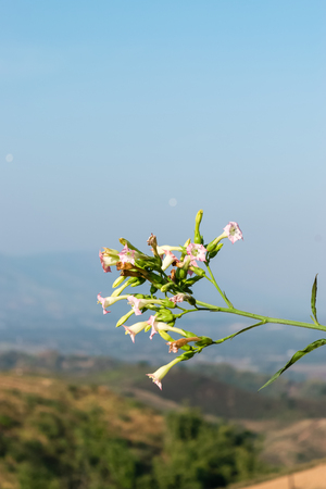Tobacco flower with a mountain background in Thailand 스톡 콘텐츠