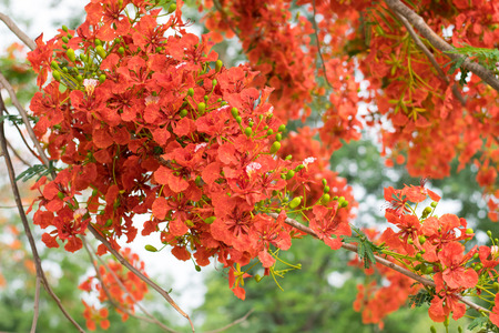 Blossom Royal Poinciana or Flamboyant (Delonix regia) flowers on tree in nature garden Thailand, Stock Photo