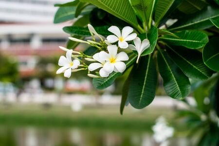 Beautiful plumeria flowers on tree in the public park Banque d'images