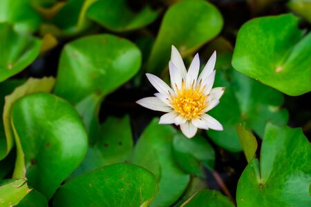 Lotus flower with green lotus leaf in the basin Foto de archivo - 127566221