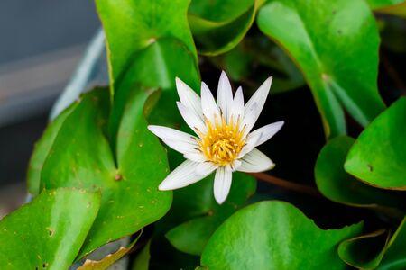 Lotus flower with green lotus leaf in the basin Foto de archivo - 127566224